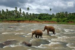 К слонам в Пиннавалу
