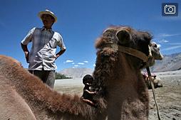 Минипустыня и верблюды, Долина Нубра, Ладак